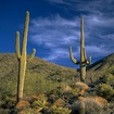 Smaller fro a raincopy of saguaros 1000 at 600dpi