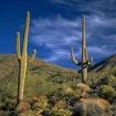 Smaller fro a raincopy of saguaros 1000 at 600dpi