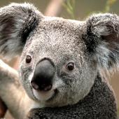 Nia Koala