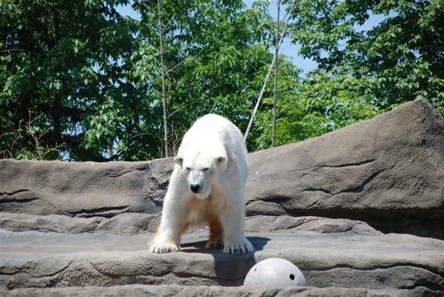 Polar Bear at the Cleveland Zoo