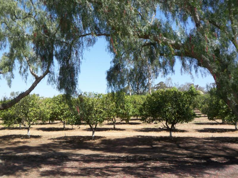 Orchards in Rancho Santa Fe California
