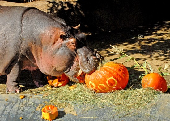 Boo at the  LA Zoo hippo eating a pumpkin