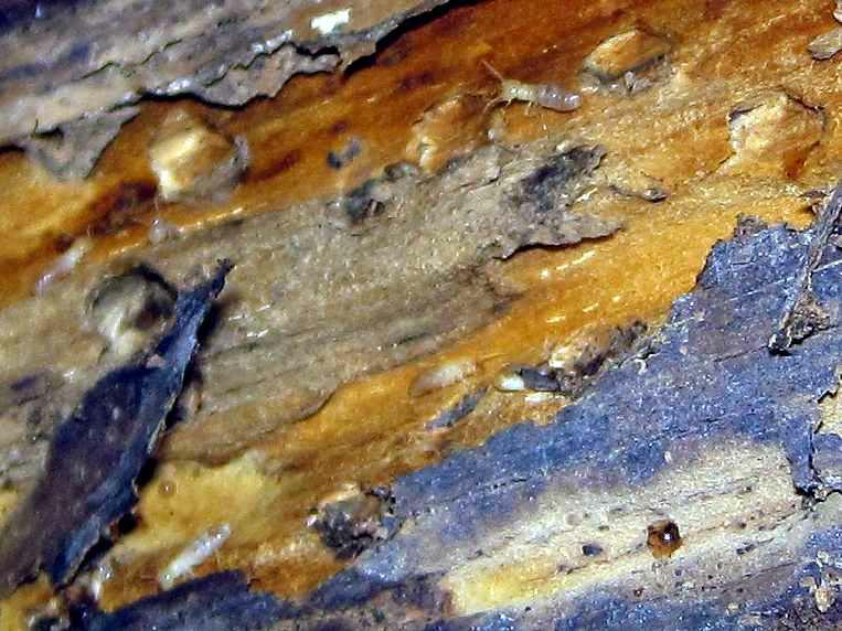 East Wenatchee Home Inspection- Termites