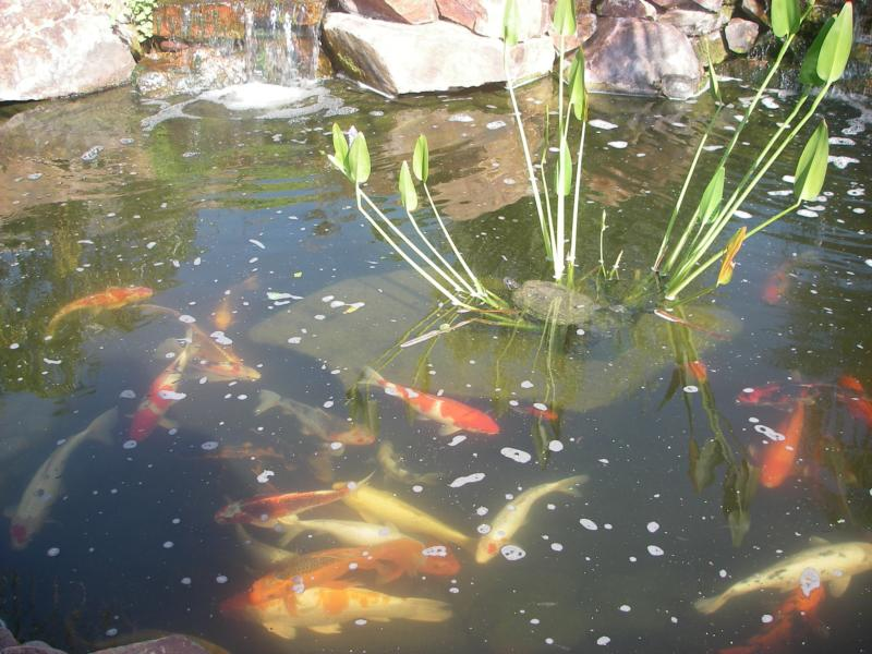 San diego pond and garden poway ca for Koi for sale san diego