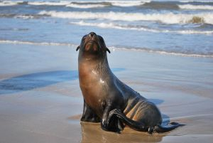sea lion pups washing ashore Malibu Endre Barath