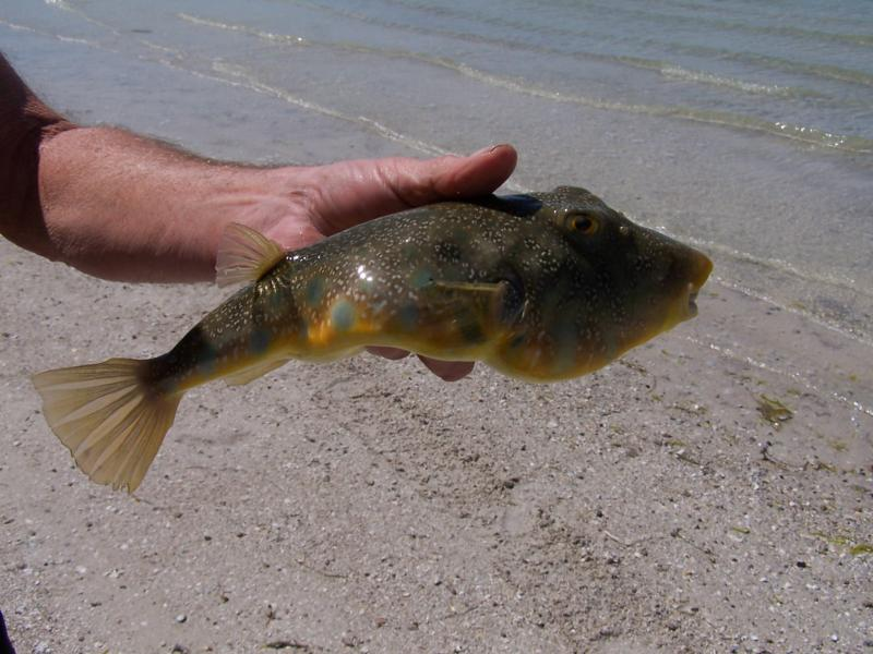 Florida 39 s puffer fish for Puffer fish florida