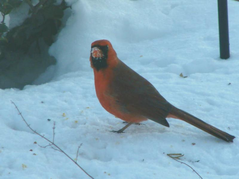 the cardinal state bird of illinois bright and pretty against a