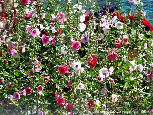 Hollyhocks, john mccormack, realtor, albuquerque homes realty, mccormick