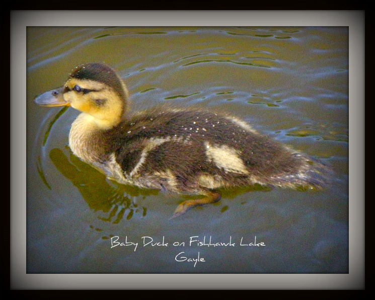 Fishhawk Lake Baby Mallard