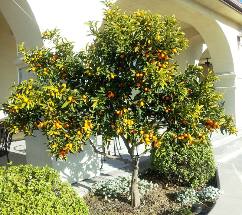 Kumquat Love Living In El Dorado Hills