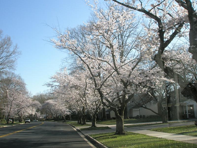 Cherry Trees in Crofton - Copyright 2008.  M.Woda