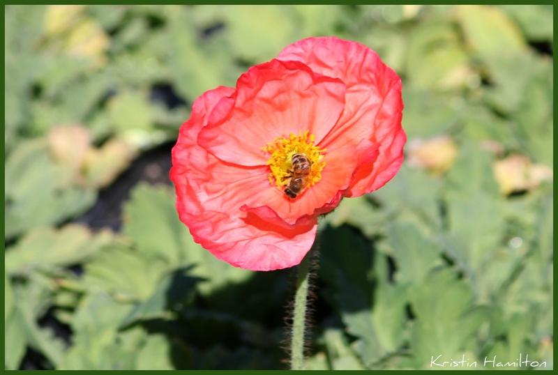 California poppy the state flower mightylinksfo
