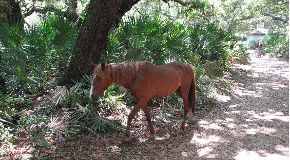 feral horses on cumberland island - placces to go coastal ga