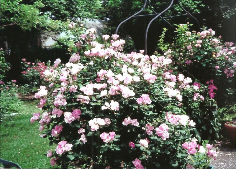 SPEECHLESS SUNDAY - ENTRANCE TO MY GARDEN WITH BLUSHING KNOCKOUT ROSES