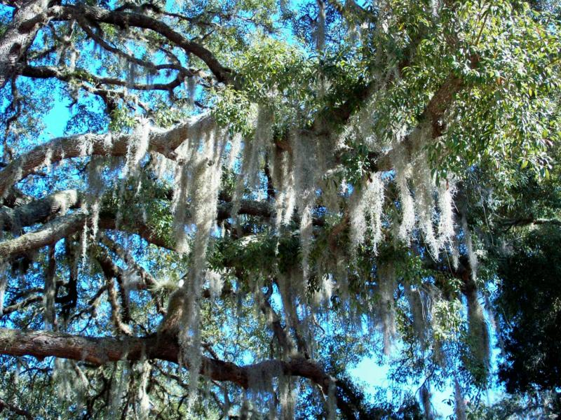 Spanish Moss, Gray Beard