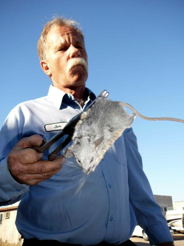 Desert Critters Pack Rats Will Nest In Your Car S Engine