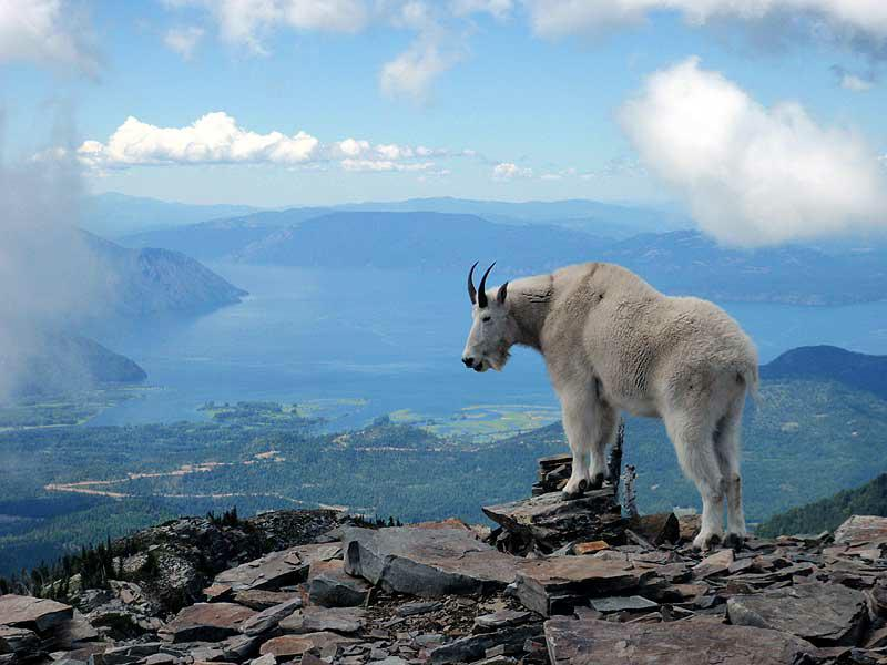 Pictures of the goats of Scotchman Peaks