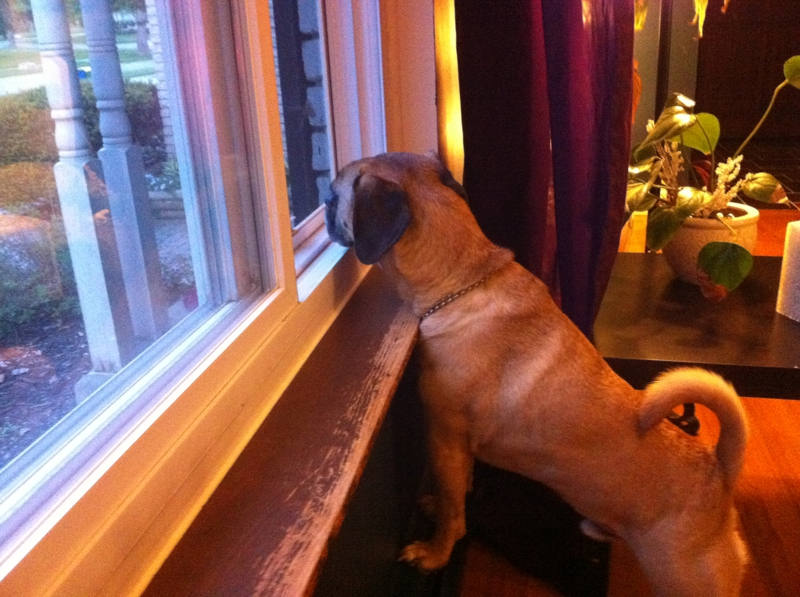 Puggle at the Window