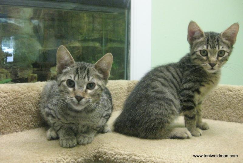 Two Kittens at the SPCA Suncoast-toni Weidman