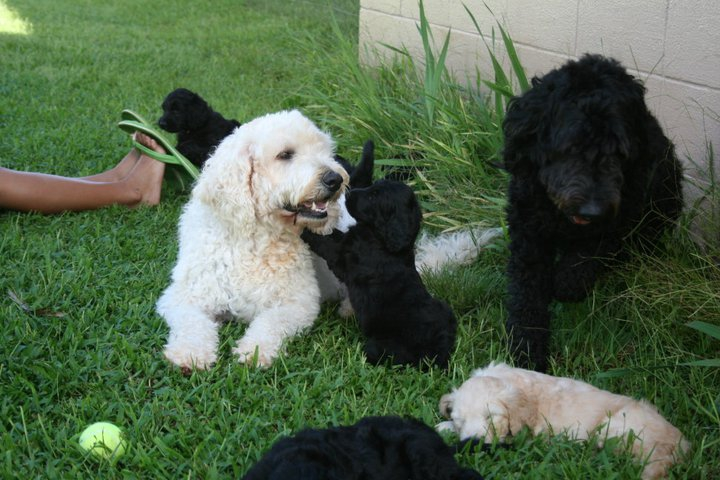 Our Labradoodle is babysitting the 5 week old Goldendoodle Puppies!