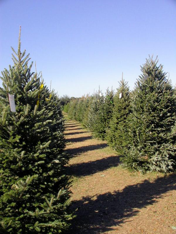 Christmas Tree Farm in Spring TX