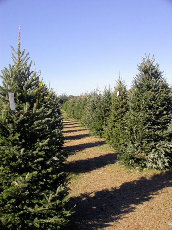 Christmas Tree Farm in Spring TX