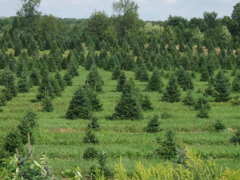 Christmas Tree Farm - The List Of Rochester U-Cut Christmas Tree Farms