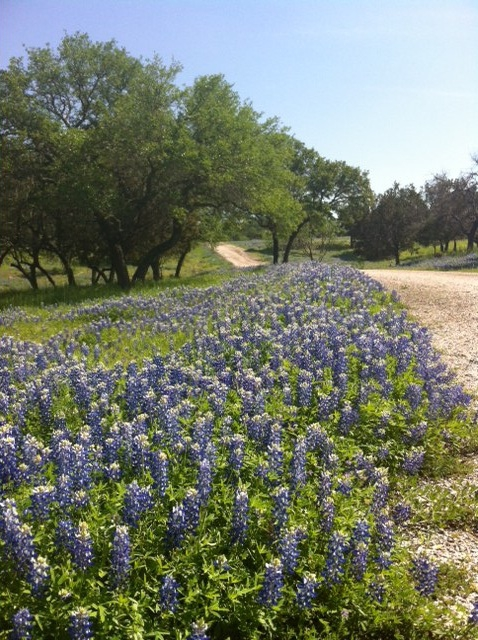 Bluebonnets Central Texas 2012