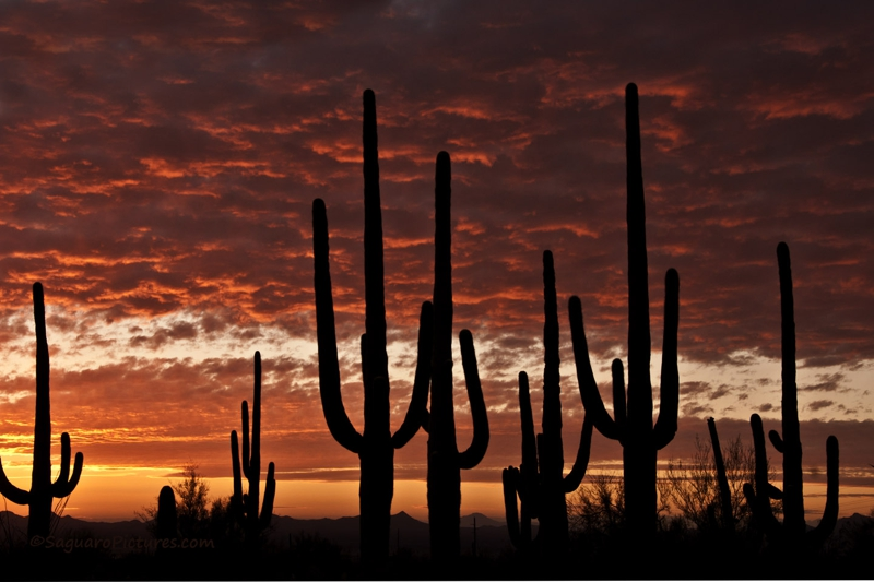 Saguaro National Park In Tucson Arizona