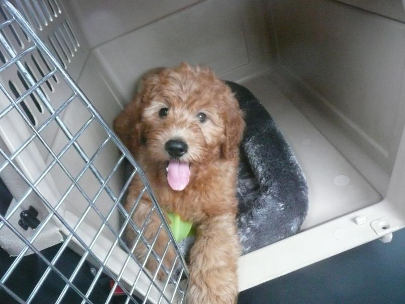 miniature goldendoodle puppy. cutest mini goldendoodle!