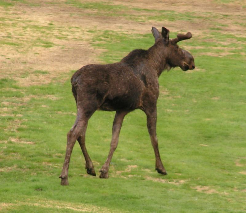 Moose on Waterville Valley Golf Course