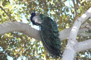 Peacock in a tree at the San Diego Zoo