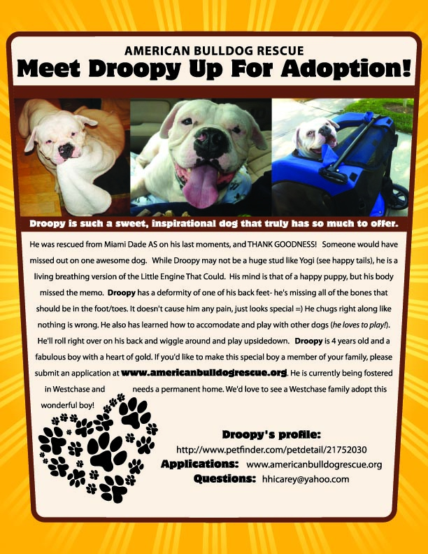 Droopy Disabled American Bulldog NEEDS A HOME- Tampa,FL