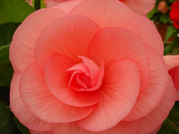 Beautiful begonias courtesy of white flower farm in morris ct white flower farm begonias mightylinksfo Choice Image