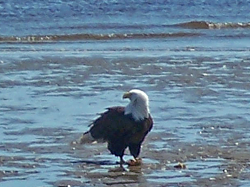 Eagle on the Beach at Crescent Harbor