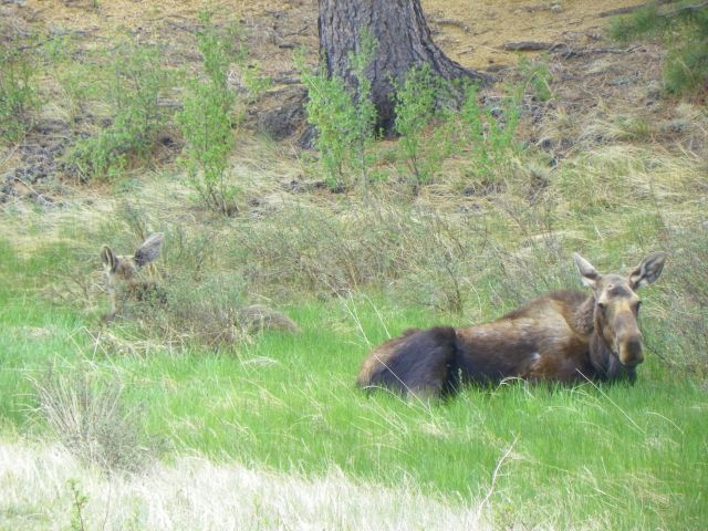 Moose Cow and her calf resting at the MacGregor Ranch