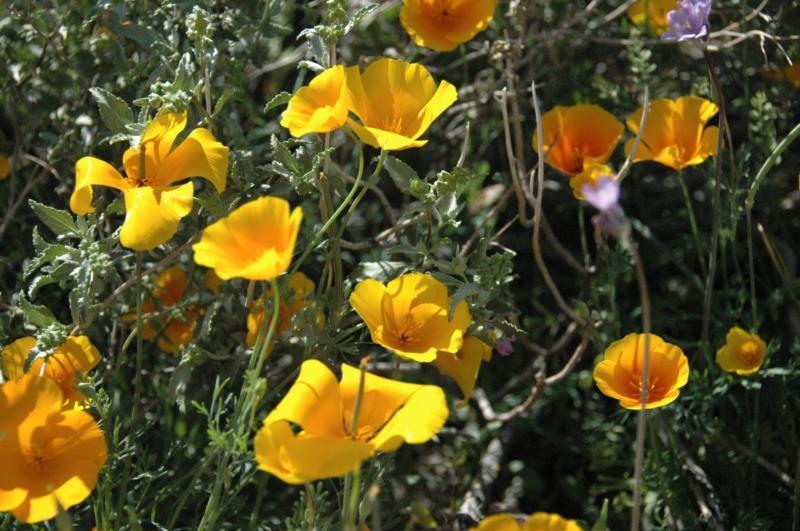 Wildflower Walk, Lost Dutchman State Park