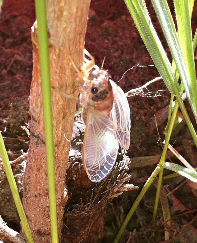 Adult Putnam Cicada