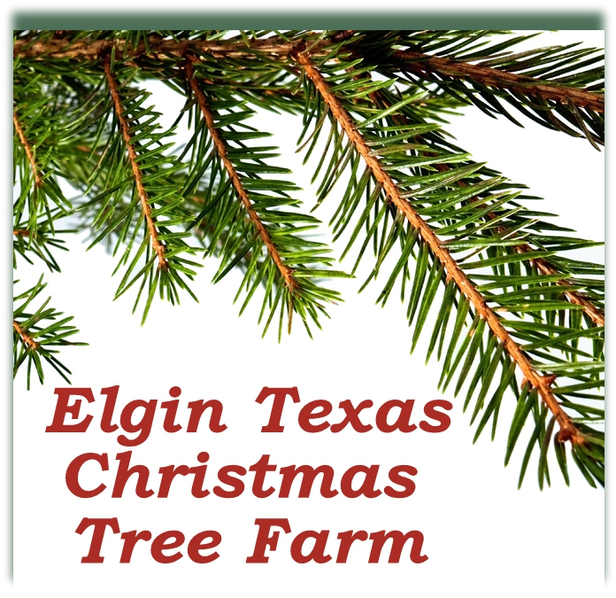 Elgin Christmas Tree Farm.The Elgin Tx Christmas Tree Farm A Holiday Outing