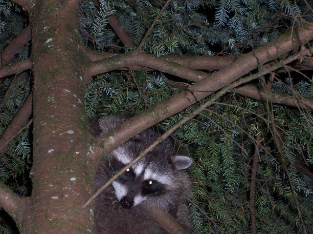 Raccoon up in tree watching us