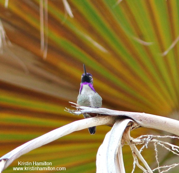 Here is my Costa's Hummingbird...a Royal Bird