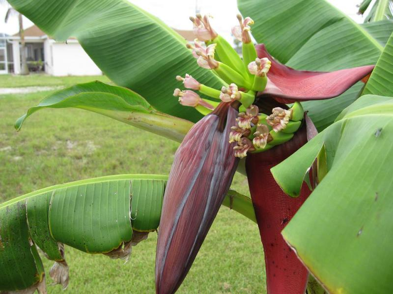 Cape C Florida Banana Tree
