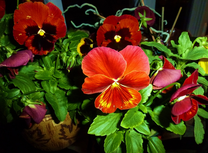 pansies  HomeRome 410-530-2400