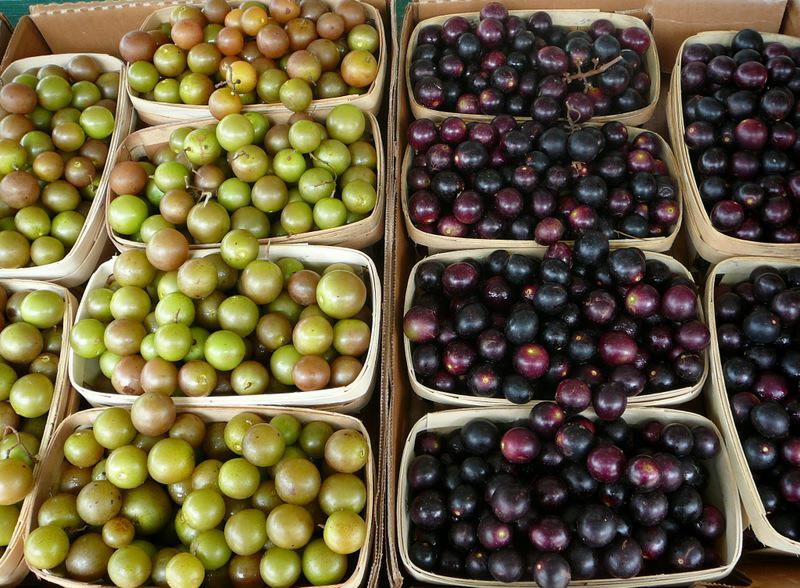 how to make wine from muscadine grapes