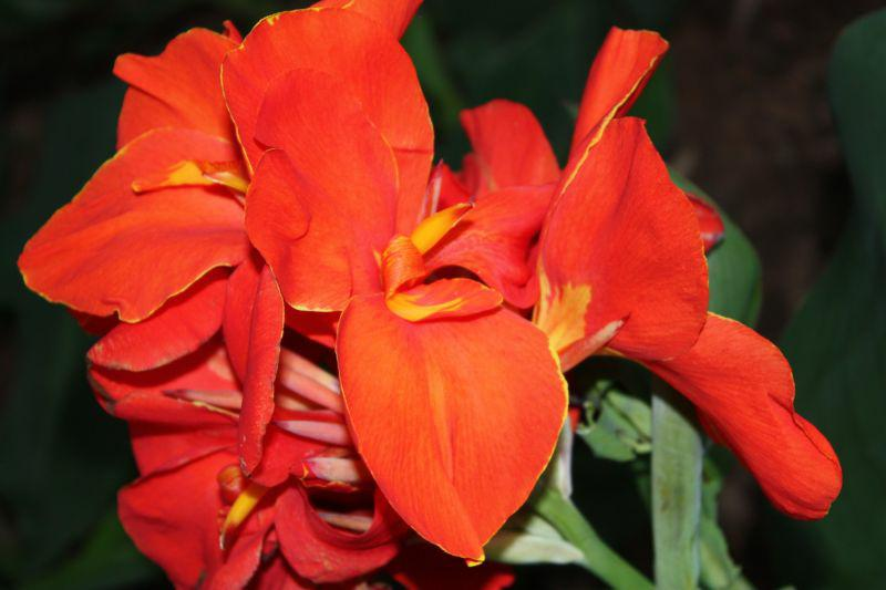Red Canna Lily in Colbert, GA by Michelle De 2009