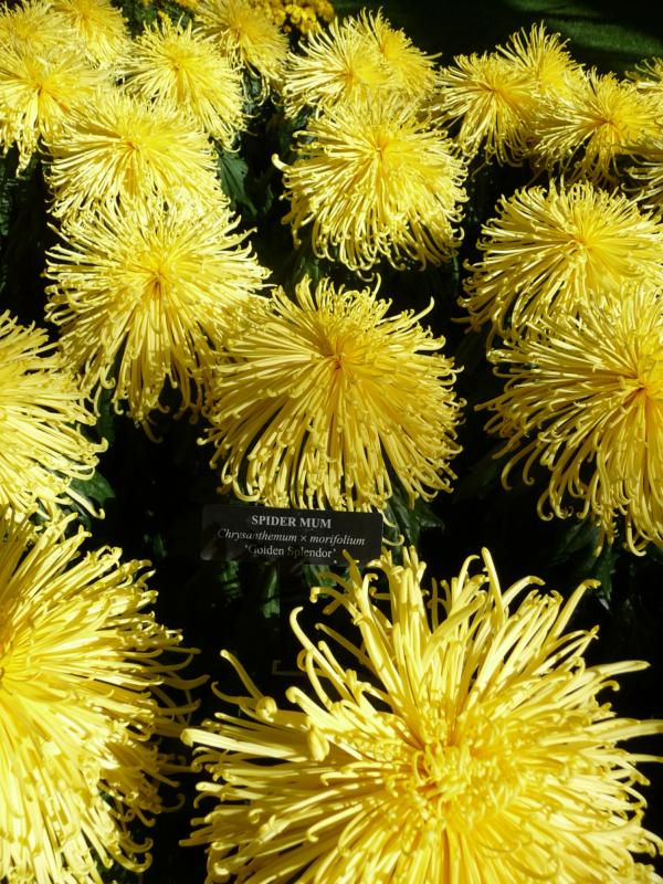 Yellow Spider Mums