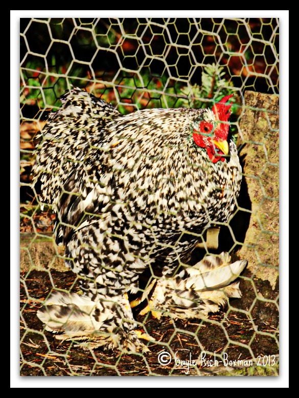 Rooster at Pebble Creek-Gayle Rich-Boxman 2013 All Rights Reserved
