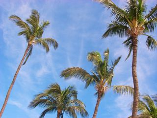 palm trees by the beach in Kihei Maui HI
