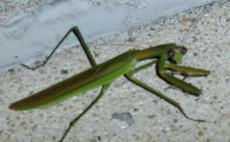 Preying Mantis  HomeRome 410-530-2400