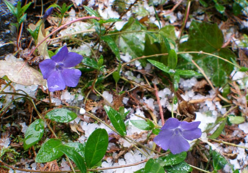 Periwinkle in the snow